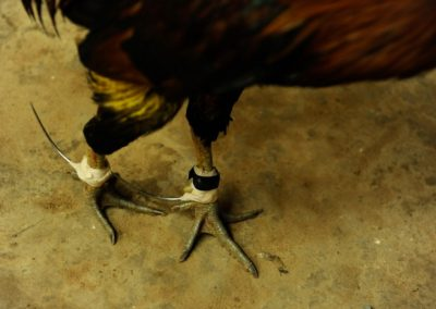 Chicken fighting - Cambodia