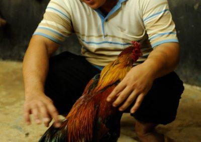 Chicken fighting - Cambodia